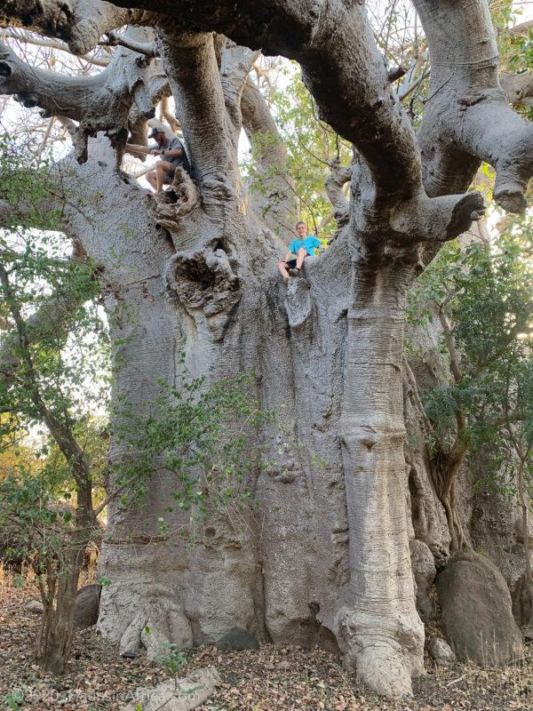 A giant baobab tree in Bolgatanga, Ghana.