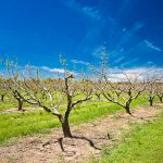 Peach trees at Lane Southern Orchard