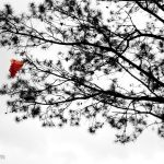 The radiosonde parachute caught in the branches of a pine tree