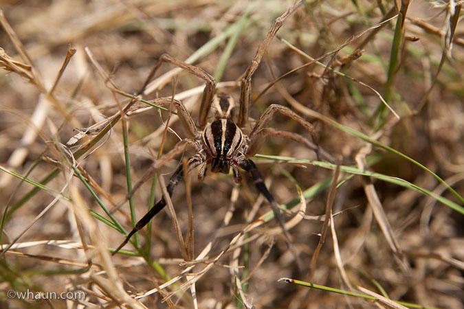 A giant spider we found in the grass