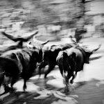 Five bulls run around the Darriet's block
