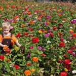 A field of zinnias