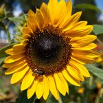 A bee visits a sunflower