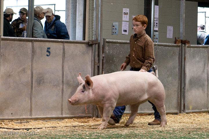 The Fair's pig judging contest