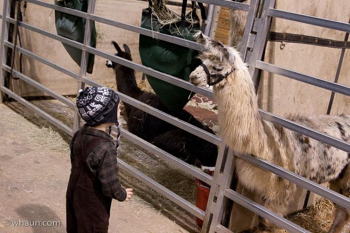 An alpaca checks out Trey's hat